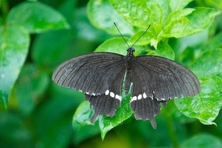 Unidentified species of Swallowtail Butterfly taken in Okinawa. Фото со стока
