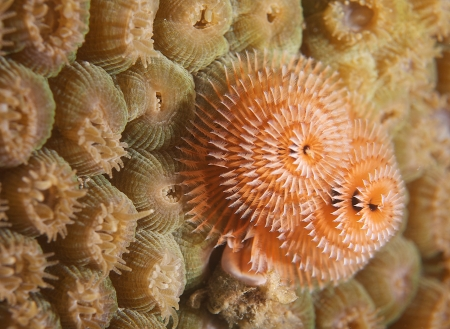 Orange and White Christmas Tree Worm living on a star coral. Stock Photo