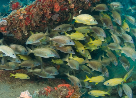 Mixed school of Grunts sheltering beneath a coral ledge.