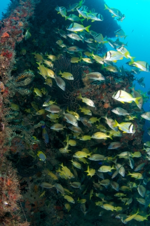 nekton: Mixed school of Grunts sheltering among the remains of a wreck.