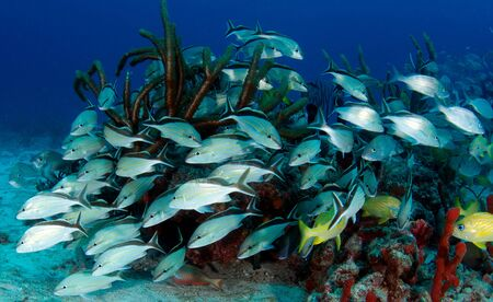 Small school of Cottonwick Grunts surrounding a small coral out cropping. Stock Photo - 15343403