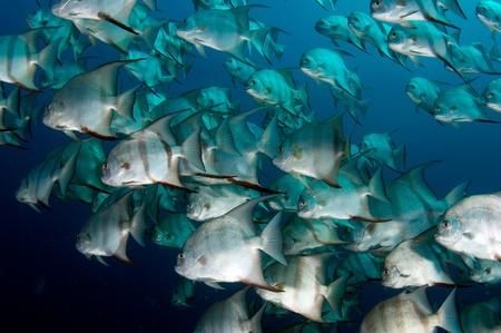 reef fish: School of Spadefish swimming around in open water.