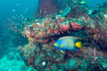 Queen Angelfish Swimming over a coral reef Stock Photo