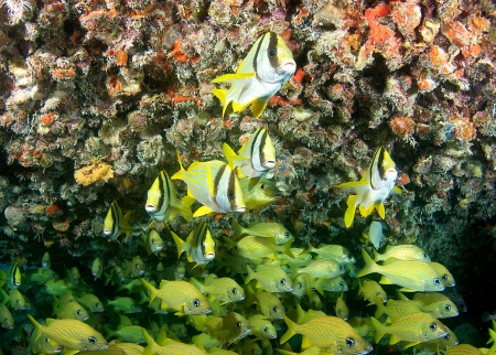Porkfish and French Grunts