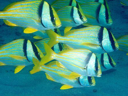 Kleine school van gesynchroniseerde Porkfish