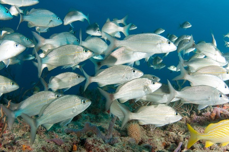 ichthyology: On a sixty foot reef in South Florida