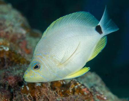 ichthyology: Atlantic ocean species of animal in south Florida.