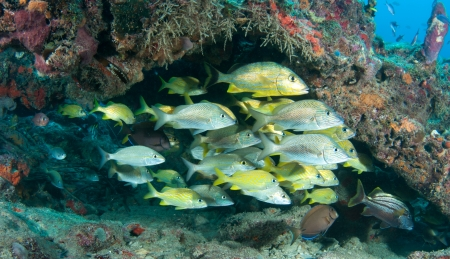 ichthyology: Mixed school of grunt fish on a reef