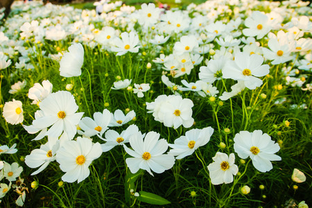 white Marigold flower in garden at thailand  photo