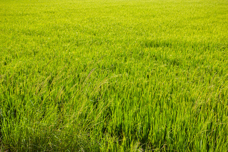 green rice background in thailand  photo