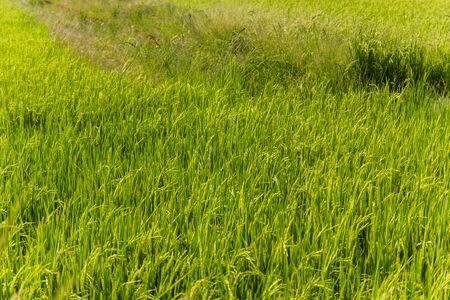 green rice background in thailand. photo