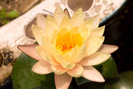 yellow lotus flower in garden at thailand  photo