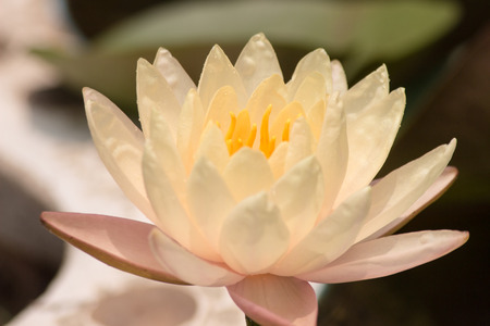 lotus flower in garden at thailand. photo