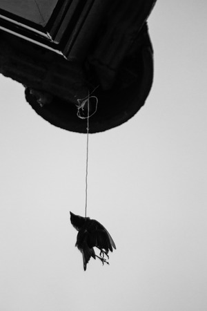 Dead crow photo