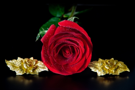 Red rose and golden roses photo