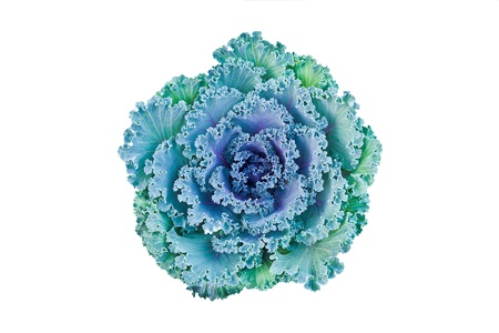 flowering field: Close-up of ornamental cabbage flower isolated on white