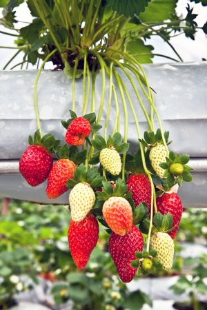 Strawberry Tree In the garden, Cameron highlands, Malaysia Stock Photo - 18299019