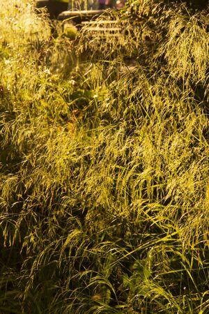 Wheat bush texture background. Lt by natural light Stock fotó