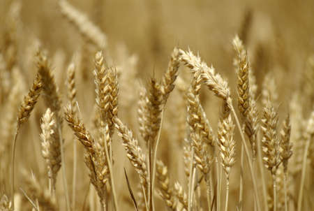 Close up of wheat field Stock Photo - 469216