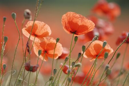 Close up of common poppies. Stock Photo - 575285