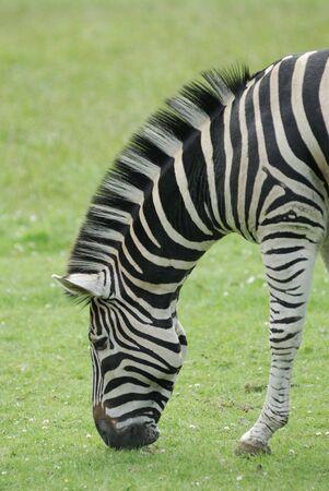 grazer: Plain Zebra