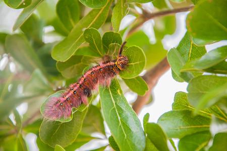 Furry Caterpillar. Hair worm. worm with hair. worm on leaf.