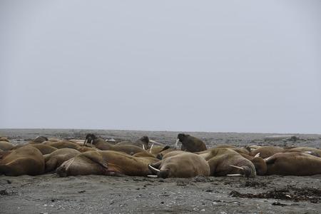 Walrus in the Arctic Island of Svalbard (Norway) June 2018