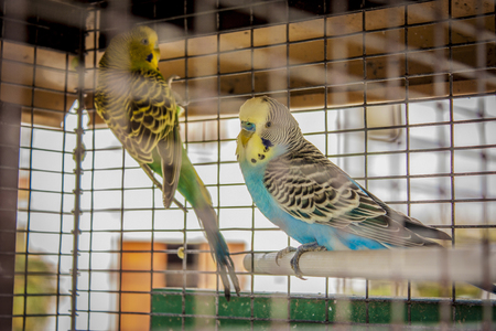 Small caged birds raised in captivity. A life away from nature, in a cage alone.