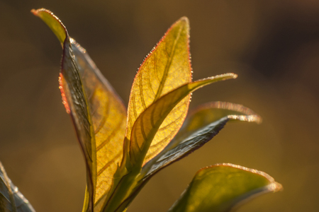 Young small leaves lit by the spring sunshine, in a typical vegetation of northern Italy. Stock Photo