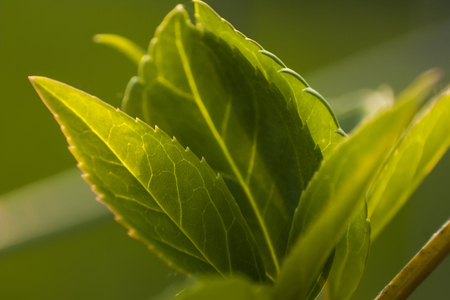Detail of some leaves under magnification of a macro lens. veins and leaf details are clearly visible, including the serrated edge.