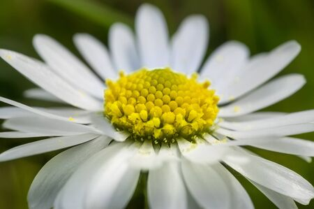 デイジーの花のセクションを拡大しました。色とイタリア半島の一般的な花の細部の爆発。