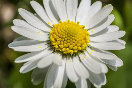 Enlarged section of the daisy flower. An explosion of color and details of a common flower of the Italian peninsula.