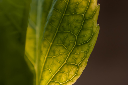 Detail of veins on a leaf in spring. Spectacular detail of a leaf and its smaller veins.