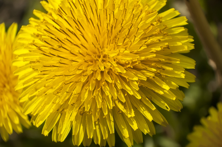 Details of flower petals of Taraxacum. A macro photography to show the details and colors of this flower.