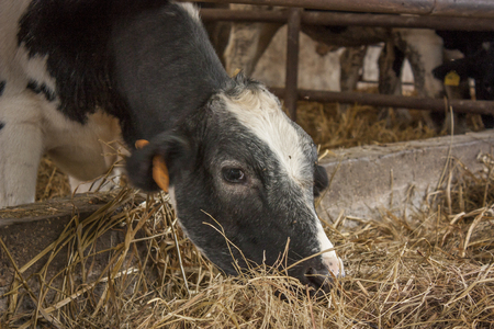 A cow while eating hay of natural origin in a biological rearing in Italy