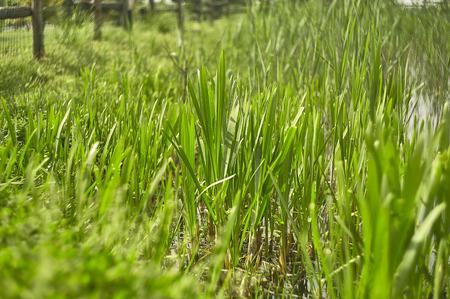 Close-up van een massa gras in de weelderige groei in de lente.