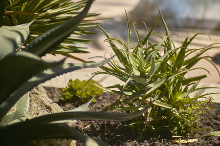 fungicide: Flowerbed with various fatty plants including the Aloe plant. Stock Photo