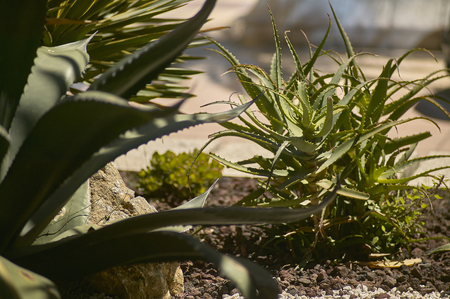 Beautiful bush of Aloe plants, beautiful and very lush specimens of bright and glowing colors.