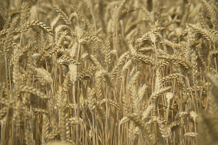 Ears and grain of wheat in a field of cultivation, agriculture in italy. Reklamní fotografie