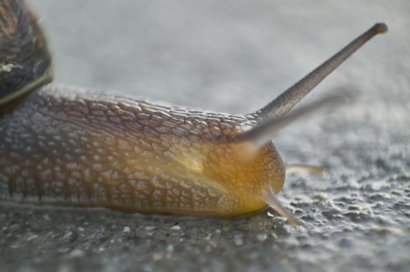 Detail of a macro shot of a snail, skull, where you can see the details of the eyes, antennas, and ripples of the body.