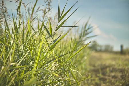 Vegetation, Gras, typisch für die Gefiedergebiete der Po-Tal in Italien. Detail der Graswurzeln und kleinen Ohren. Sumpfige Vegetation. Standard-Bild - 82973952