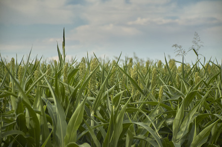 Corn plants in a growing crop still young, back, stage of first flowering.