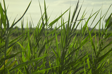 typical: Vegetation, grass, typical of the plumage areas of the Po Valley in Italy. Detail of grass roots and small ears. Swampy vegetation.