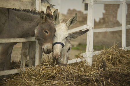 Three donkeys in an organic farmhouse intended to eat hay and straw