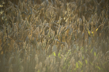 Resuming at sunset of a grain crop in italy, grain now ready for harvest. Stock Photo