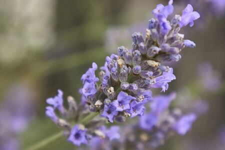 Lavender flower in a fantastic detail with macro shot, where you can see all the smallest details of this fragrant flower. Stock Photo