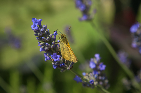 Small Moth resting on lavender flower shooting in a macro shot with surprising details.