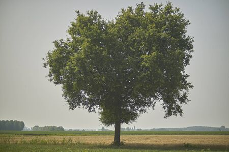 Large tree, plane tree, immersed in a unique and evocative countryside.