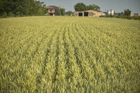 Field of barley on a farm: very rich and abundant crop. 스톡 콘텐츠