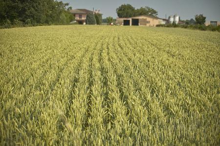 Field of barley on a farm: very rich and abundant crop. Banco de Imagens